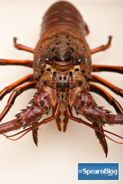 Spiny Lobster California